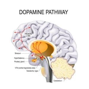 Dopamine pathway in brain